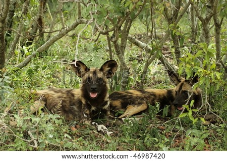 Wild dog resting in shade - stock photo