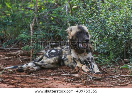Wild dog resting on the ground with head in air
