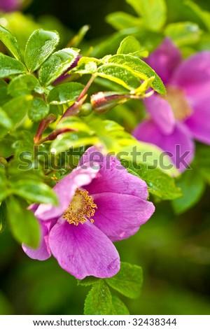wild dog rose flower macro - stock photo