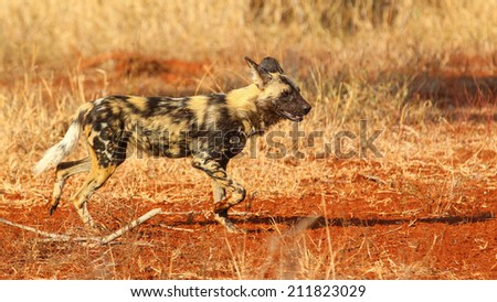 Wild dog running on red sand between grass, South Africa - stock photo