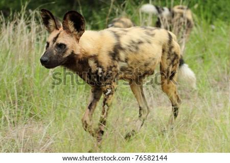Wild dog, side profile, watching, - stock photo