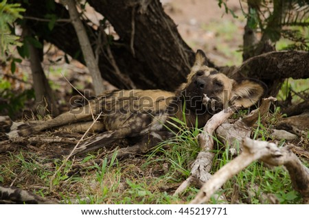 Wild dog sleeping with its head on a log like a pillow - stock photo