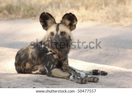 Wild dogs (painted) in Sabi Sand, South Africa - stock photo