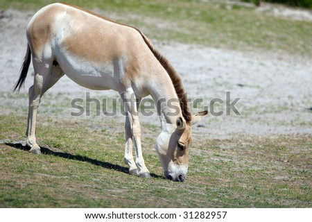 Wild Donkey - stock photo