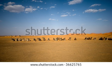 Wild dromedary camels in Sahara in Morocco - stock photo