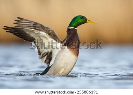 Wild duck - stock photo