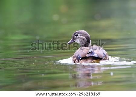 Wild duck chick (Anas platyrhynchos) - stock photo