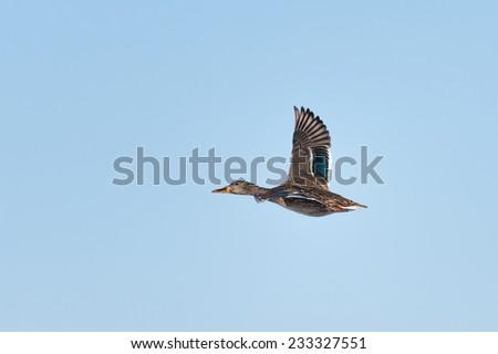 Wild duck (female) flying - stock photo