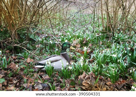 wild duck in spring forest and spring snowflakes flowers - stock photo