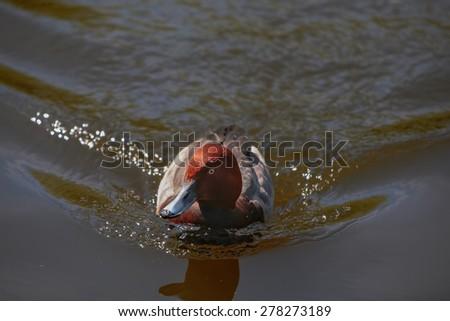Wild duck in their natural habitat . - stock photo