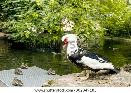 Wild duck on the pond. Duck leader. - stock photo