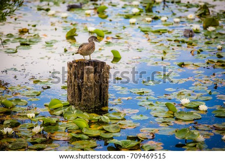 Wild duck resting on pole