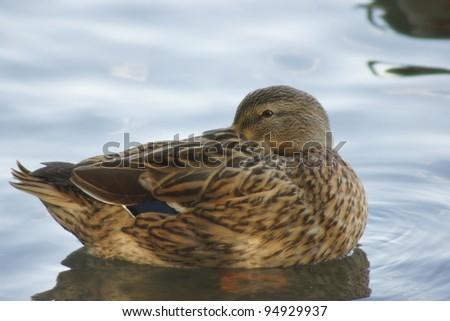 Wild duck sitting on a pond - stock photo