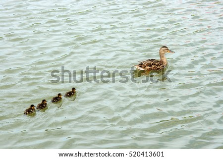 Wild duck with ducklings on the pond