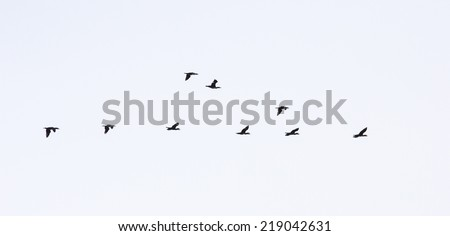 wild ducks flying - stock photo