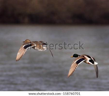 Wild ducks flying over lake - stock photo