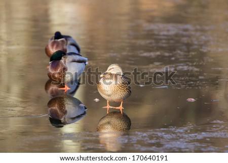 Wild ducks on frezen lake - stock photo