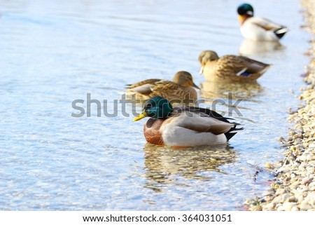Wild ducks on the lake coast - stock photo