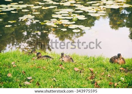 Wild ducks resting on the lakeside - stock photo