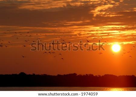Wild ducks taking flight into the setting sun. - stock photo