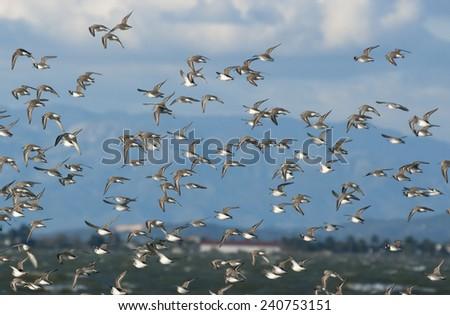 Wild Dunlin flying.Deltebre.Spain - stock photo