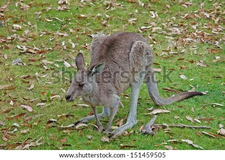 Wild Eastern Grey Kangaroo, Australia - stock photo