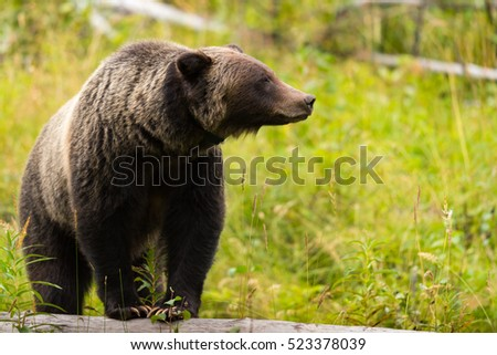 Wild Eastern Slopes Grizzly bear in a mountain forest in summer Banff National Park Alberta Canada