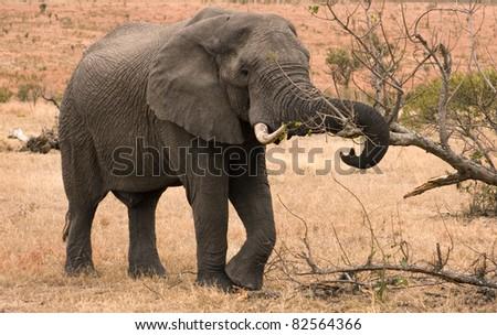 Wild elephant in habitat eating bark from a tree - stock photo