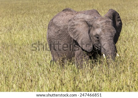 Wild elephant in Maasai Mara National Reserve, Kenia. - stock photo