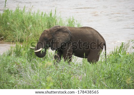 Wild elephant in South Africa
