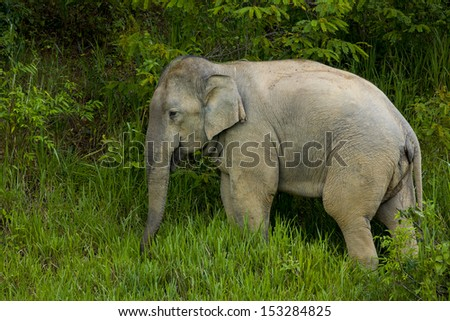 Wild elephant in the green field, national park, thailand - stock photo