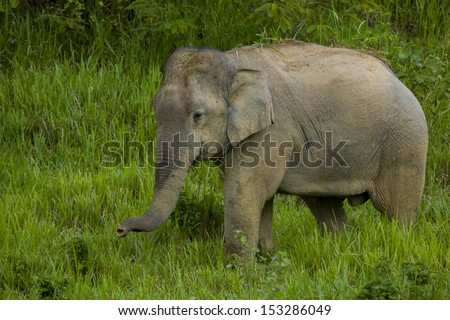 Wild elephant in the green field, thailand - stock photo