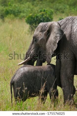 Wild elephant mother and baby in maasai mara national park, Kenya.   - stock photo