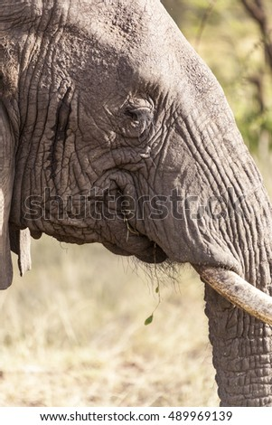 Wild elephant on the move Tanzania Africa