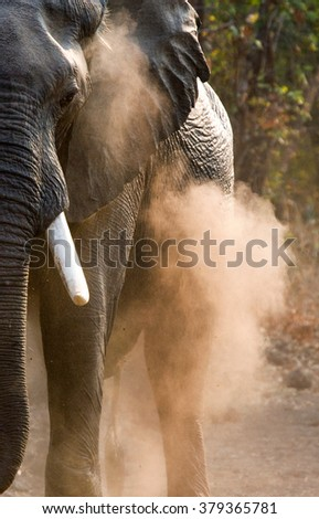 Wild Elephant throws the dust. Zambia. South Luangwa National Park.  An excellent illustration. - stock photo