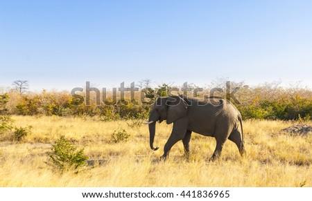 Wild Elephant walking through the dry grass of Botswana, Africa under a blue sky - stock photo