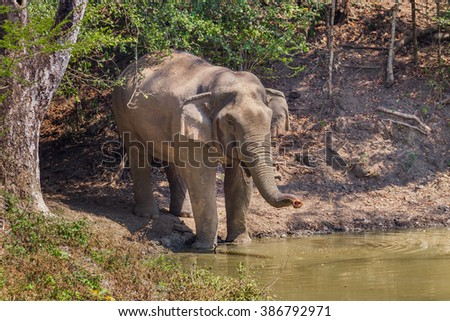 Wild elephants (Elephas maximus) smelling the enemies while drinking  water in real nature at Kengkracharn national park, Thailand - stock photo