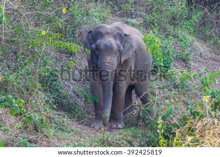 Wild elephants (Elephas maximus) stair at us with curious in real nature at Kengkracharn national park, Thailand - stock photo