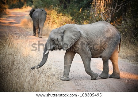 wild elephants in luangwa national park zambia