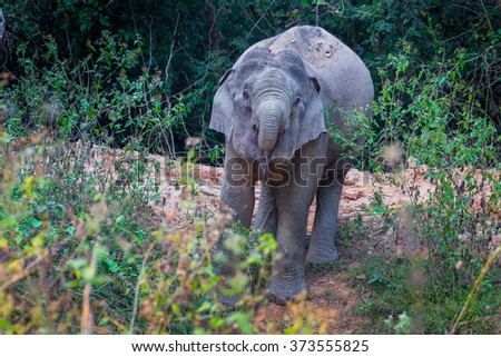 Wild elephants spray the water into his mount in real nature at Kengkracharn national park, Thailand - stock photo