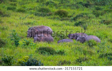 Wild elephants walking in blady grass filed in real nature at Khao Yai national park,Thailand - stock photo