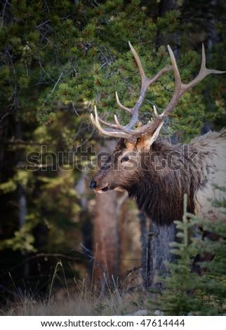 Wild Elk in Banff National Park Alberta Canada - stock photo