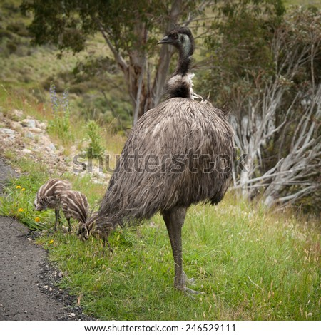 Wild emu with his three chicks near Snowy mountains highway - stock photo