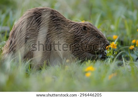 Wild european beaver in the beautiful nature habitat in Czech Republic, castor fiber
