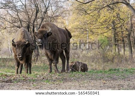 Wild European bison or Wisent (Bison bonasus) living in autumn deciduous forest. - stock photo