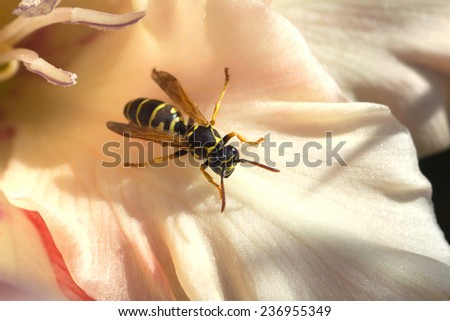 Wild european paper wasp sits on pink petal, closeup - stock photo