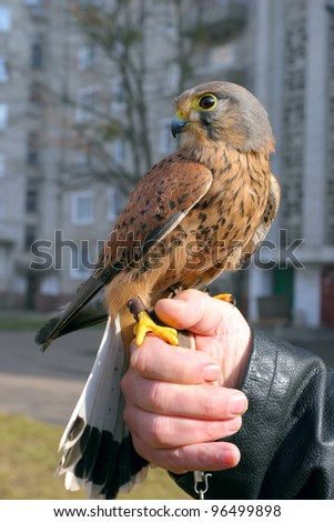 wild falcon siting on the human hand - stock photo