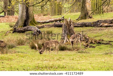 Wild fallow deer at Dunham Massey, Altrincham, UK