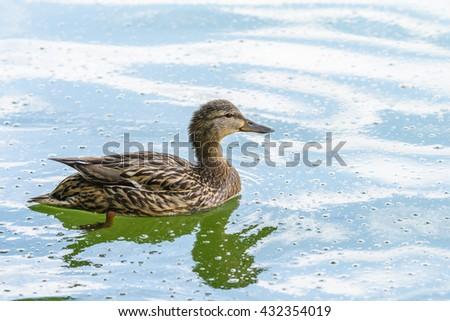 Wild Female Duck Swimming On Water - stock photo