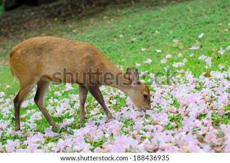 Wild female hog deer eating flowers on green field. - stock photo